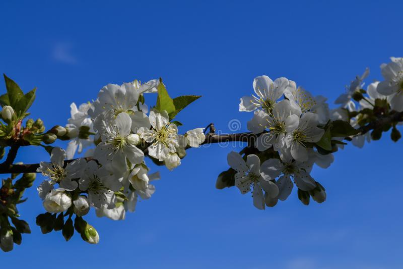Vita blommor sakura för körsbärsröd blomning med blå himmel på bakgrunden arkivfoton