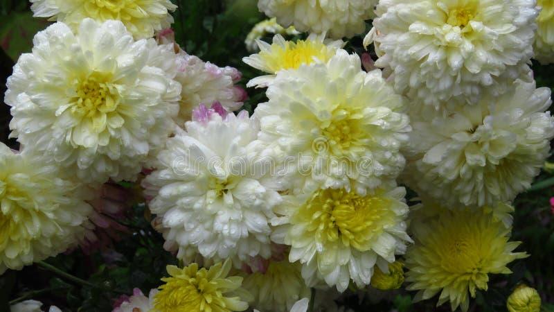 Vita blommor som blommar i Augusti tvåfärgade vita och gula krysantemum arkivbild