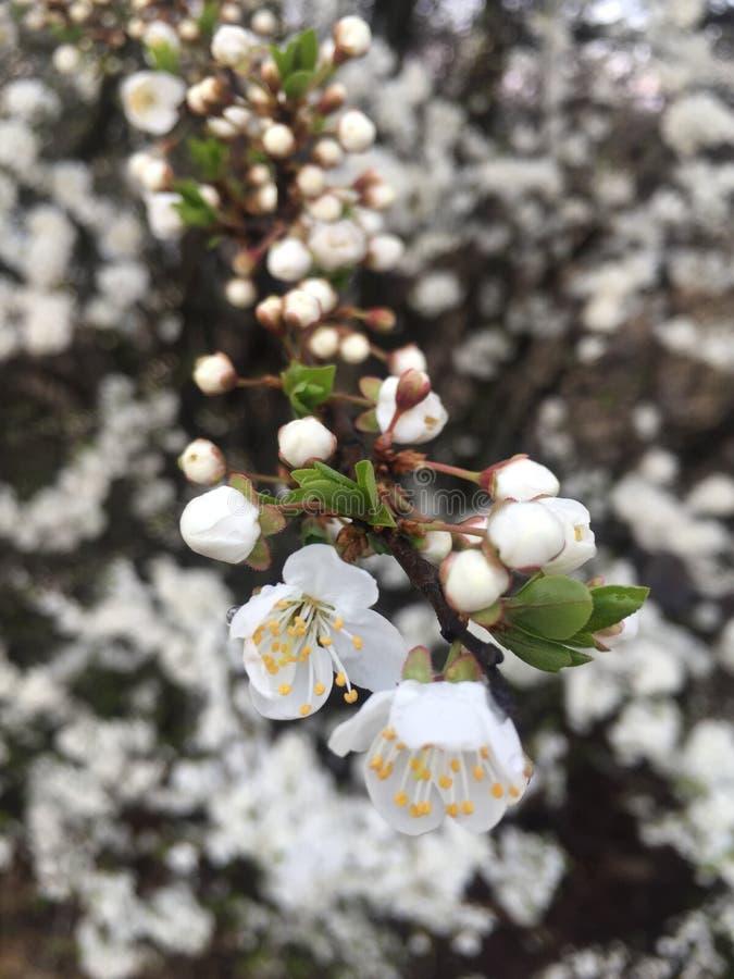 Vita blommor som blommar p? filialen, v?r close upp arkivbilder