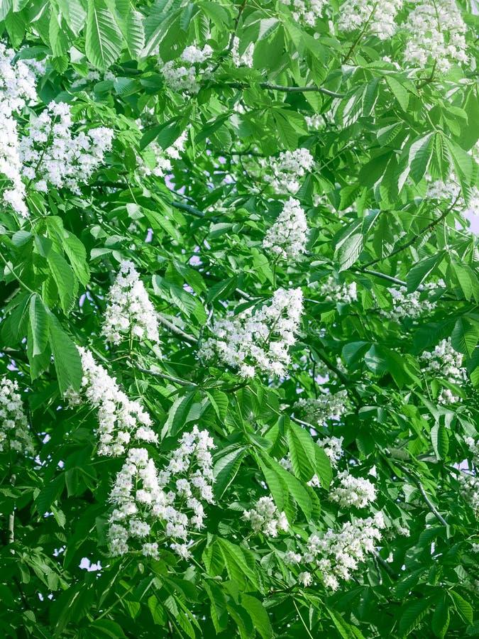 Vita blommor som blomstras på en kastanj royaltyfri bild