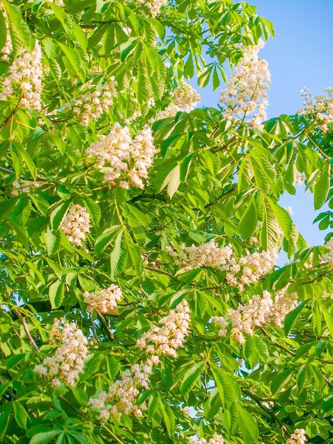 Vita blommor som blomstras på en kastanj royaltyfria bilder