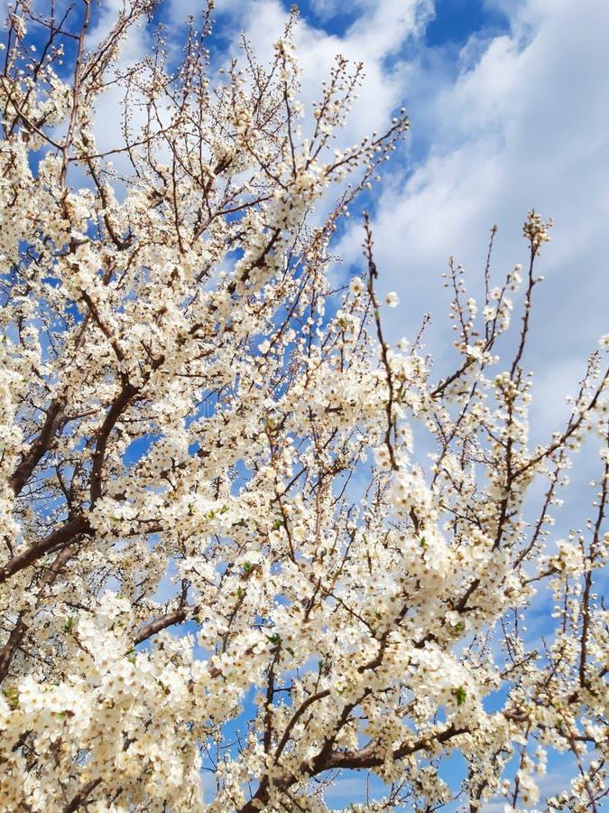 Vita blommor som brister in i blom på träd royaltyfria bilder