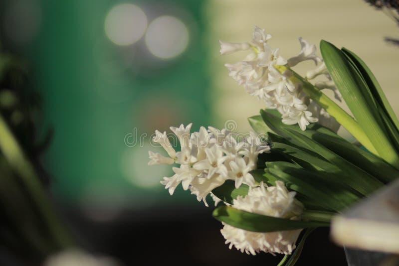 Vita blommor som in sitter hinken inget redigera royaltyfria bilder
