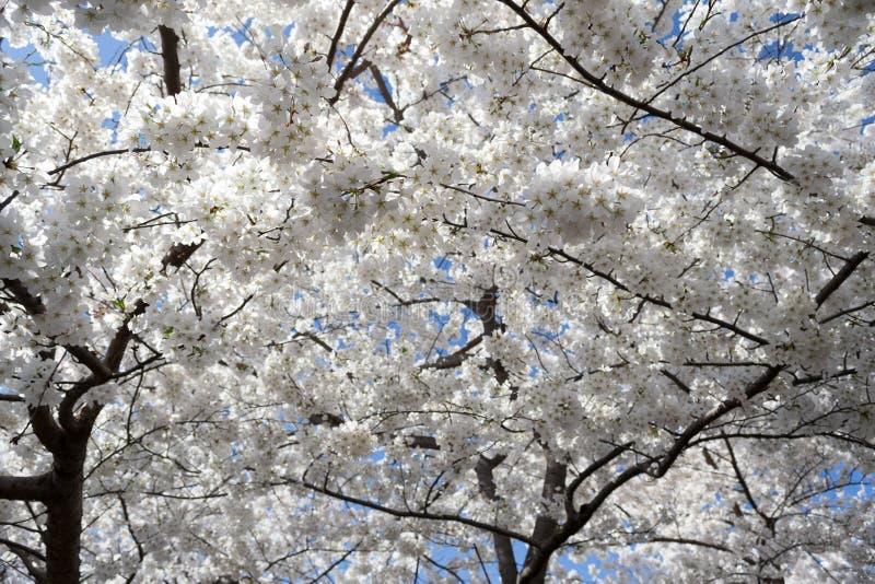 Vita blommor som täcker himlen fotografering för bildbyråer