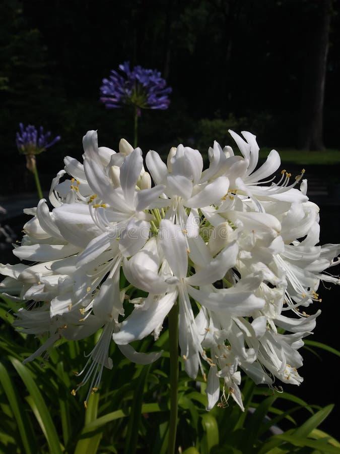 Vita blommor Up tätt arkivfoton