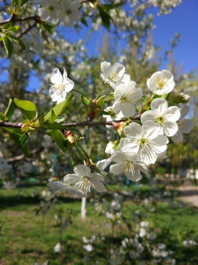 Vita blommor, våraprikors i vår royaltyfri foto