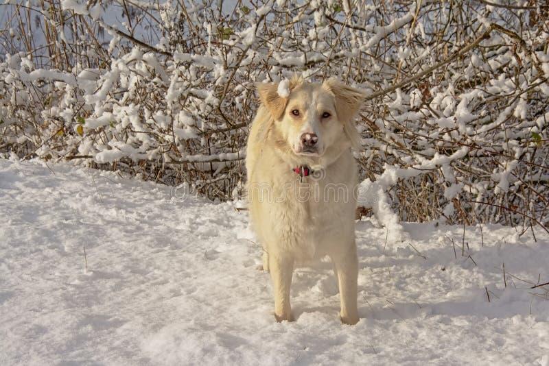 Vita border collie i snön arkivfoton