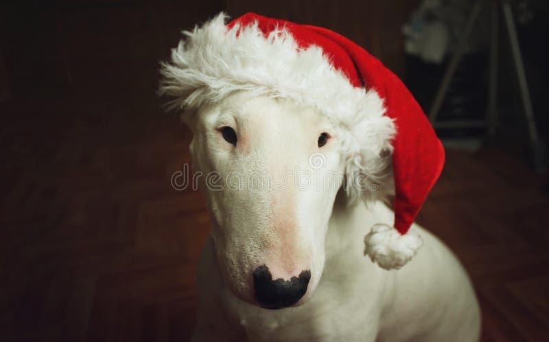 Vita bull terrier i en julhatt royaltyfria foton