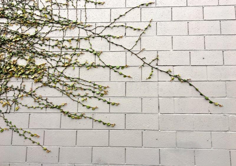 Vita che cresce su un muro di mattoni fotografia stock libera da diritti