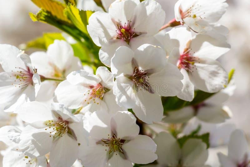 Vita Cherry Blossom arkivfoton