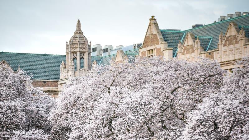 Vita Cherry Blossom In Full Bloom mot klassisk byggnad för tappning på universitetet av Washington On om den härliga vårdagen arkivfoto