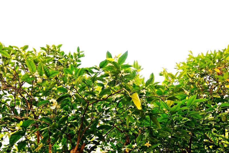 Vita citronblomningar royaltyfri bild