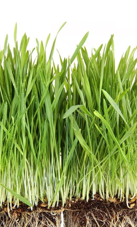 vita closeupwheatgrass royaltyfria bilder
