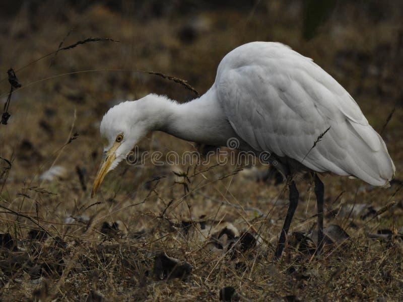 Vita Crane Bird Searching For Food arkivfoto