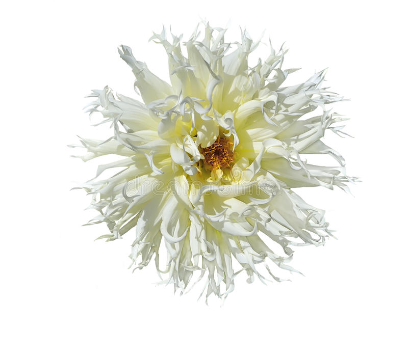 Vita Dahlia Flower royaltyfria bilder