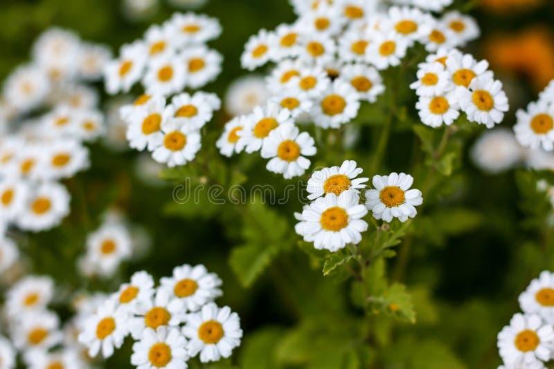 Vita Daisy Flower arkivbild