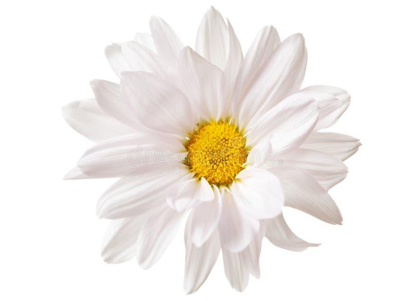 Vita Daisy Flower Daisies Flowers Isolated arkivfoto