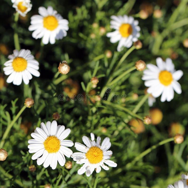 Vita Daisy Flowers, knoppar och stammar på en äng i madeira royaltyfri fotografi