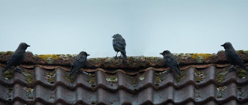 Vita degli uccelli, i corvi neri si siedono su un tetto piastrellato Estate Il Neth immagine stock
