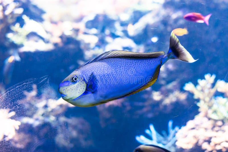 Vita dei pesci blu di sapore e della barriera corallina fotografia stock libera da diritti