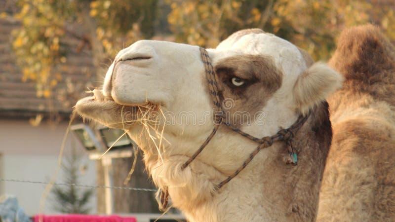 Vita del cammello fotografia stock