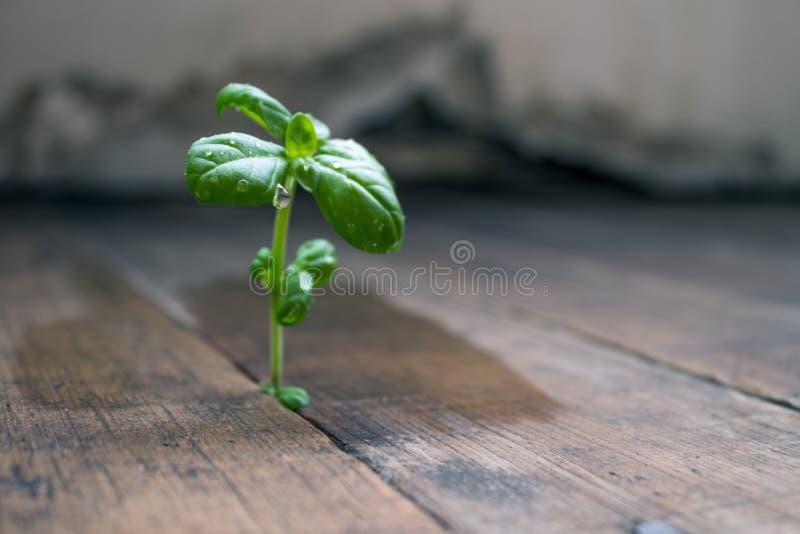 Vita del germoglio di germinazione la nuova Basilico fotografie stock