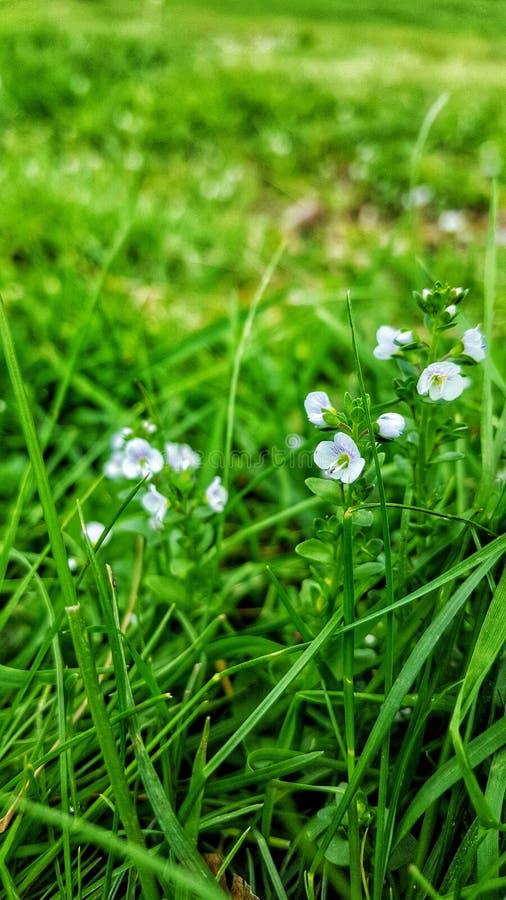 Vita delikata blommor på ett fält royaltyfri foto