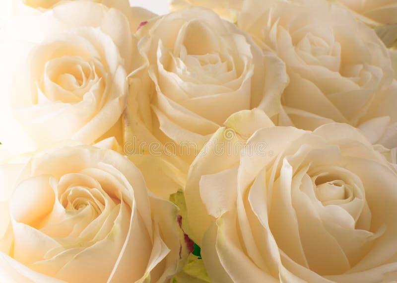vita delikata och härliga mjuka rosor, mjuk fokus Kvinnor \ 's-ferie 8th mars Beröm gåva arkivbild