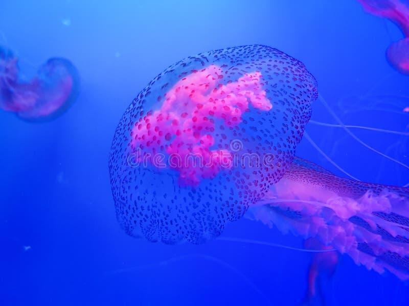 Vita dell'acquario, medusa rosa e pesce, fotografia animale, subacquea fotografia stock