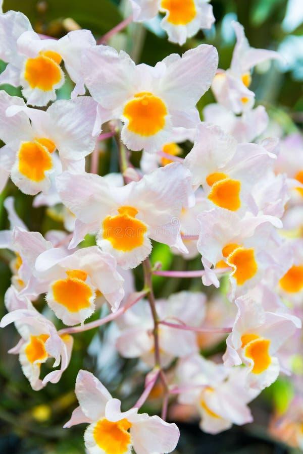 Vita Dendrobiumthyrsiflorumorkidér royaltyfria bilder