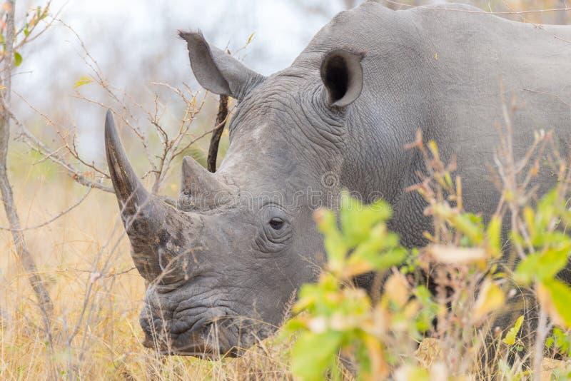 Vita det övre noshörningslutet och ståenden med detaljer av hornen, orsaken av att tjuvjaga och hotar Stor safari fem i den Nat K royaltyfri foto