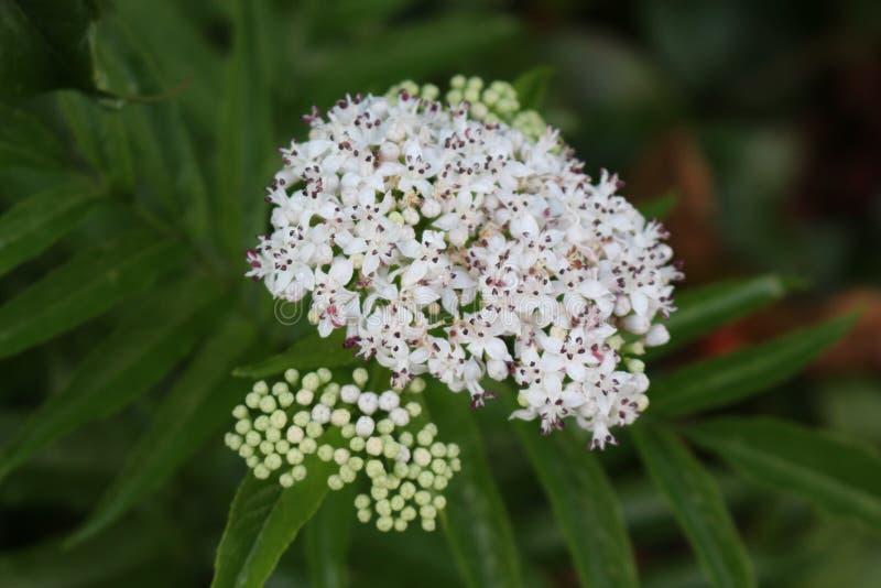 Vita doftande blommor blommar på fläderbärbusken i sommar arkivfoton