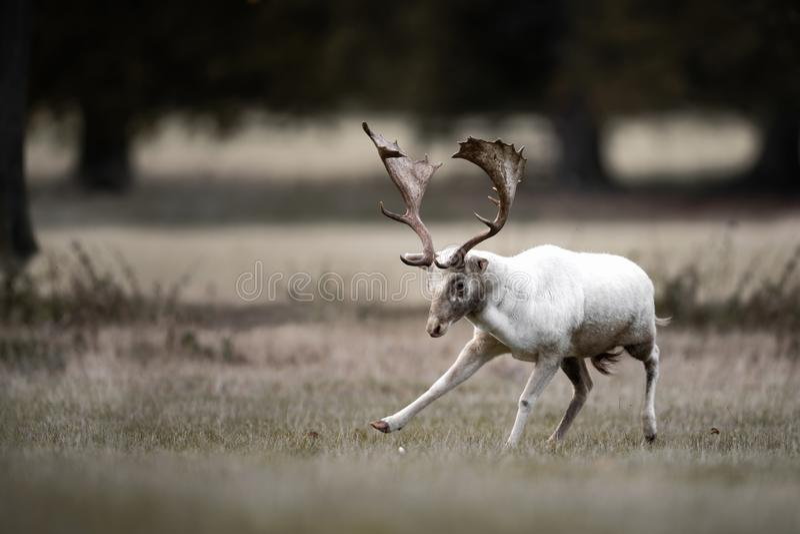 Vita dovhjortar Buck Dancing royaltyfri foto