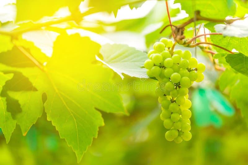 Vita druvor för grupp i vingård royaltyfria bilder