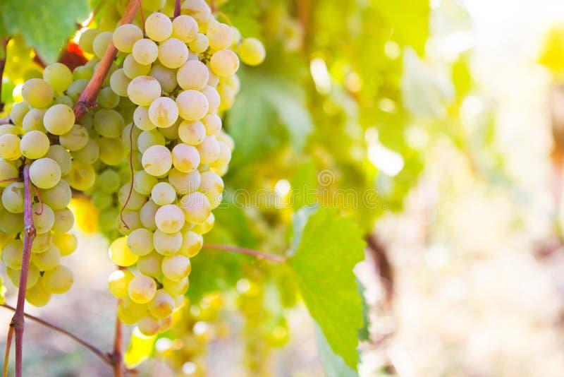 Vita druvor i vingården royaltyfri bild