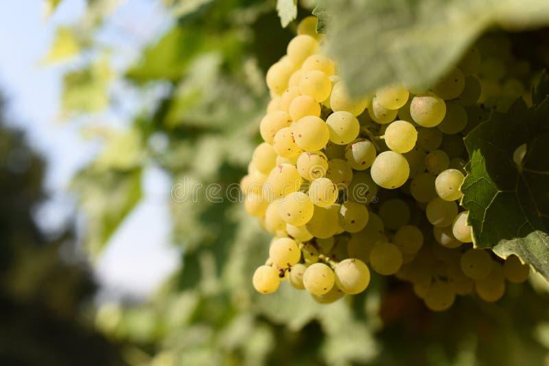 Vita druvor som är mogna på vinrankan arkivbilder