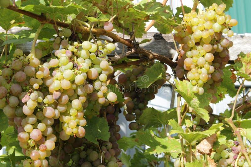 Vita druvor som hänger från frodiga gröna vingårdvinrankor arkivfoton
