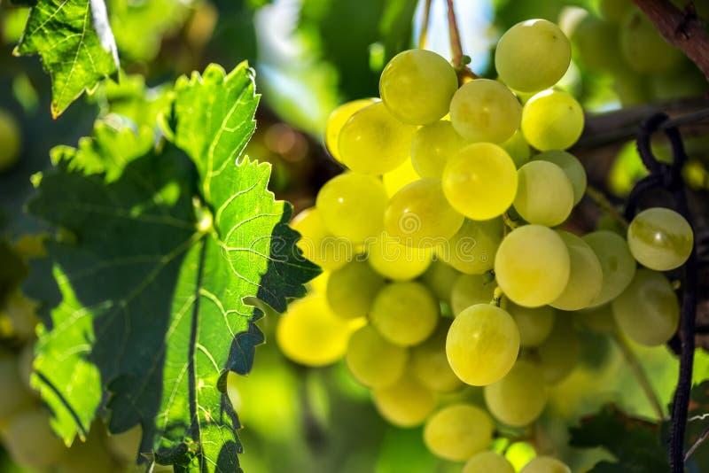 Vita druvor som hänger från grön vinranka med suddig vingårdbakgrund arkivfoto