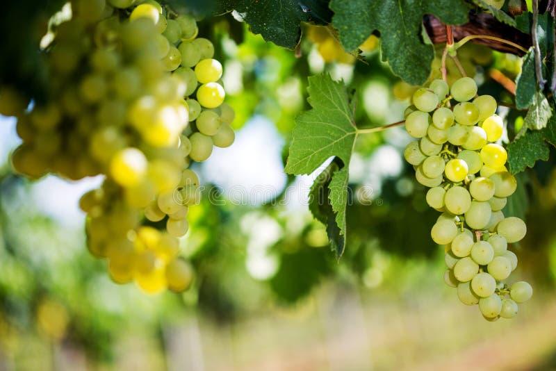 Vita druvor som hänger från grön vinranka med suddig vingårdbakgrund royaltyfria bilder