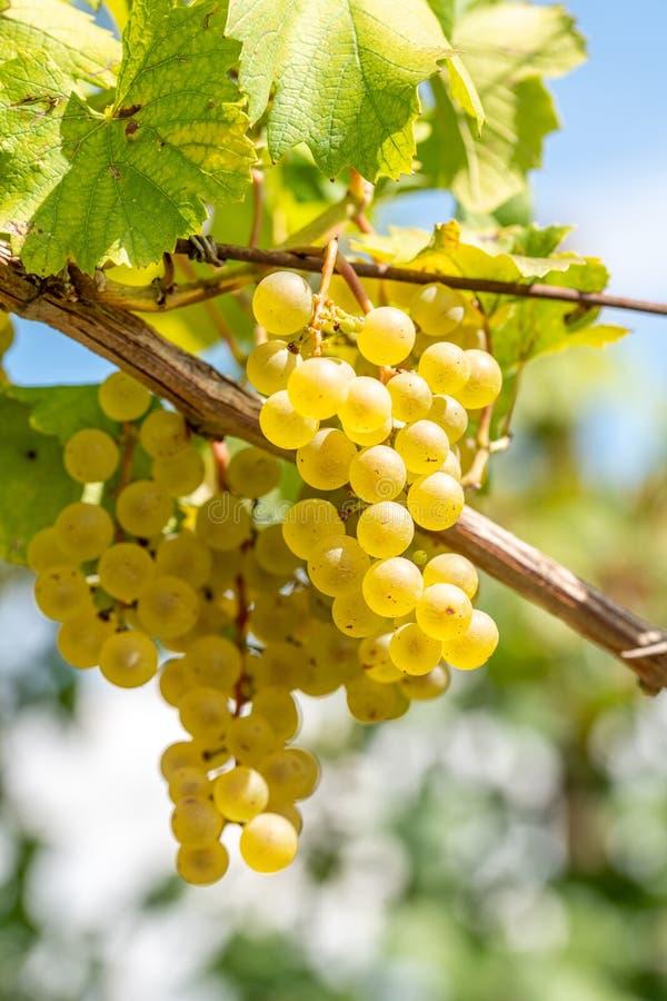 Vita druvor som hänger från vinranka med suddig vingårdbakgrund arkivfoto