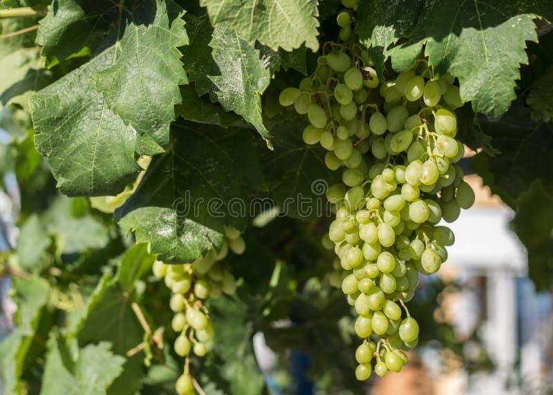Vita druvor som hänger på en buske i en solig härlig dag royaltyfria foton