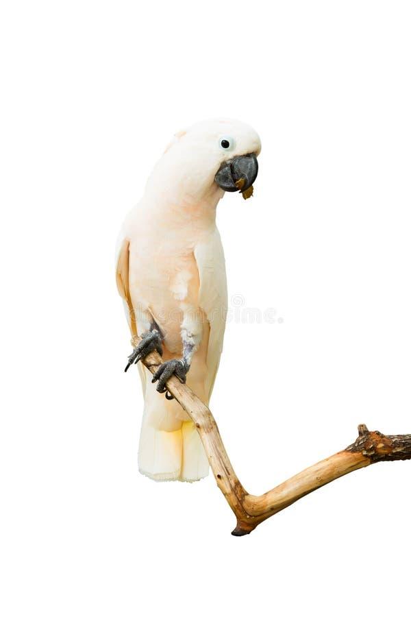 Vita fågelmacaws royaltyfri fotografi