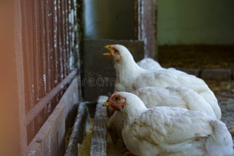 Vita fågelungar som matar inomhus closeupen arkivbilder