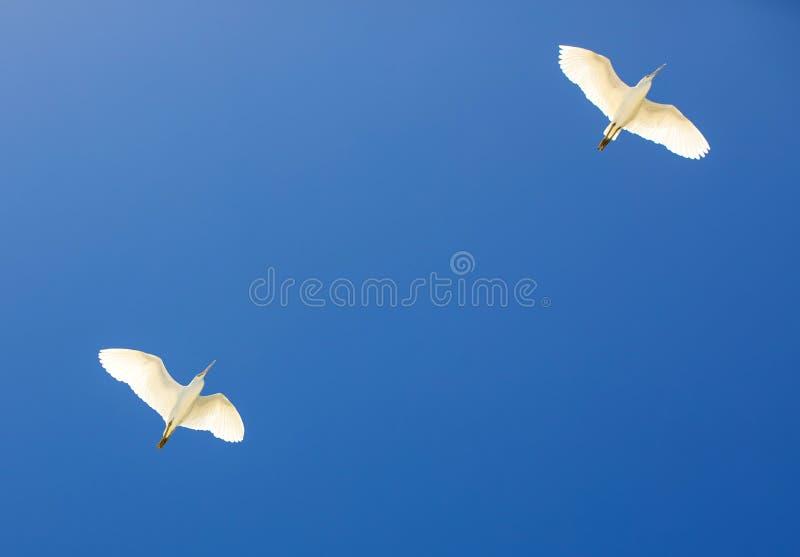 Vita fåglar som flyger på blå himmel royaltyfri bild