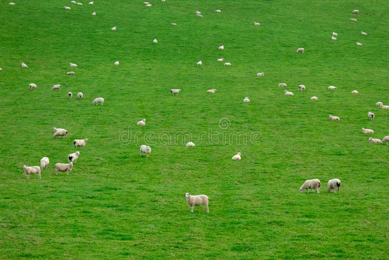 Vita får i en grön fältcollage - Irland royaltyfria bilder