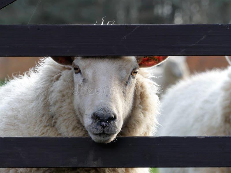 Vita får som plirar till och med träporten på vårdag royaltyfria bilder
