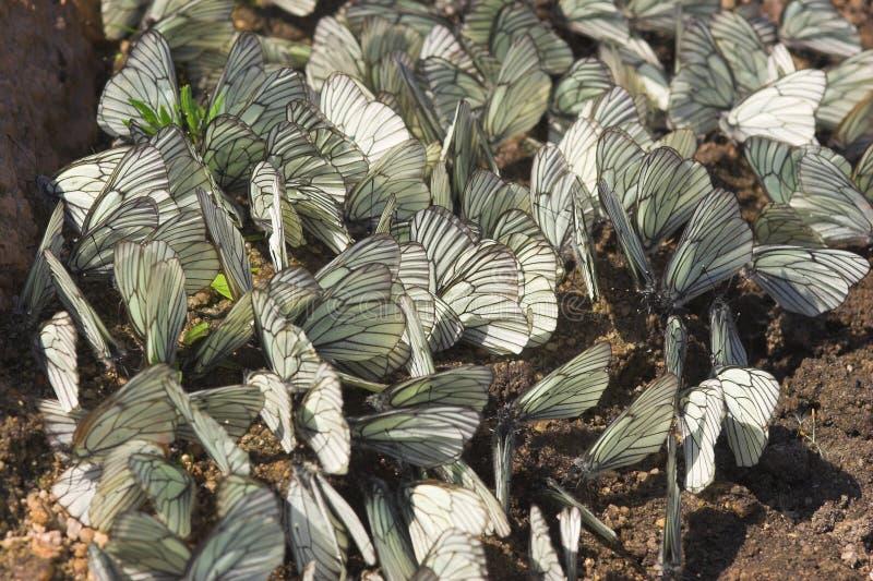 vita fjärilar royaltyfria bilder