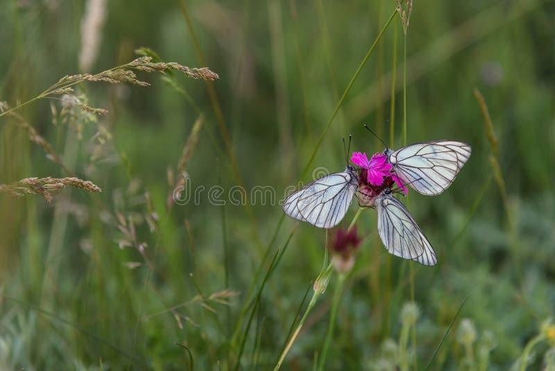 Vita fjärilar för Closeup på purpurfärgad nejlika arkivfoton