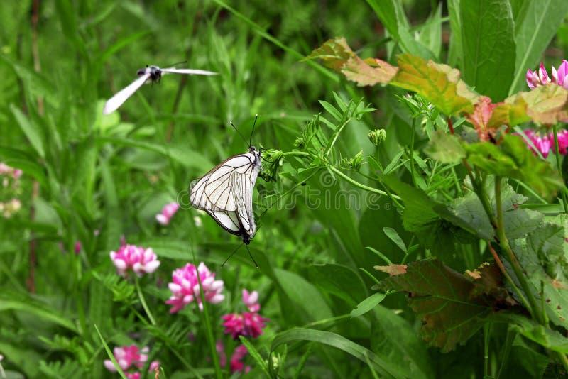 Vita fjärilar tillsammans på blomman och en i flght royaltyfria bilder
