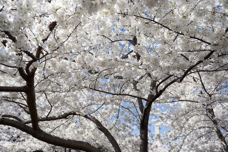 Vita floers under den Cherry Blossom festivalen arkivfoton
